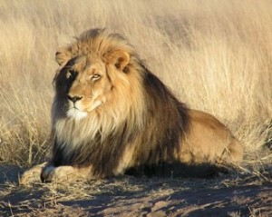 Lion - image from wikipedia