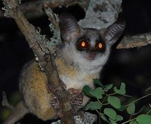 Bushbaby from Wikipedia