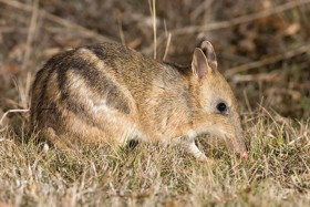 Eastern Barred Bandicoot - from wikipedia