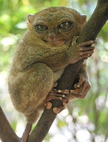 Tarsier from Wikipedia