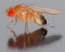 Drosophila_melanogaster_from wikipedia ds
