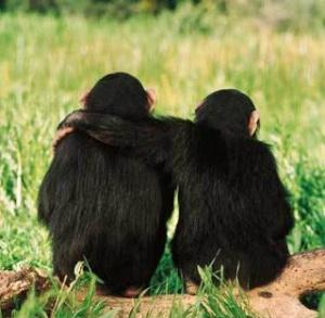 chimp_hug