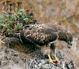 Hawk_eating_vole