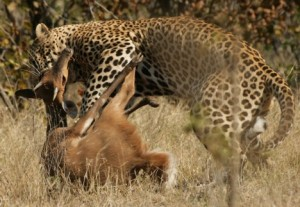 Leopard_kill_-_KNP_-_Wikipedia