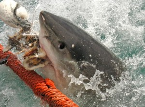 White_shark1_Wikipedia