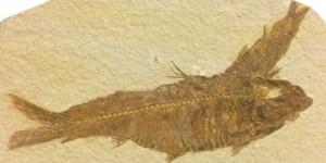Diplomystus - Green River Formation
