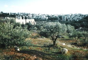 Wild Olive Trees By the Monastery of the Cross
