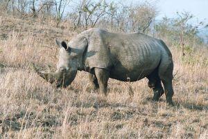 640px-Rhinoceros_male_2003