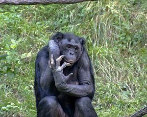 600px-Bonobo_009